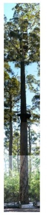 Bicentenary tree